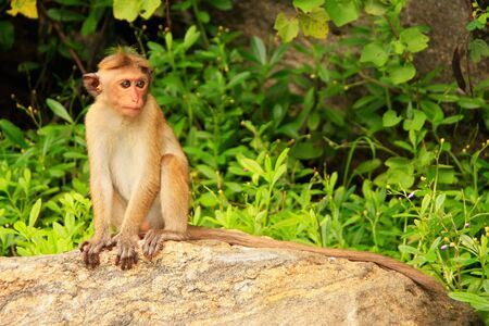 toque: Toque macaque Macaca sinica sitting on a rock at Cave Temple in Dambulla, Sri Lanka. Toque macaques live only in Sri Lanka.