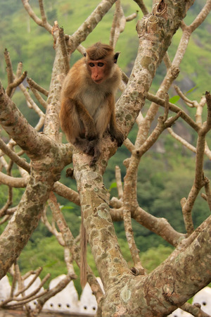 toque: Toque macaque Macaca sinica sitting on a tree at Cave Temple in Dambulla, Sri Lanka. Toque macaques live only in Sri Lanka.