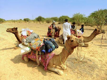 thar: Camels resting during camel safari, Thar desert, Rajasthan, India Editorial