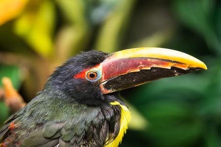 viridis: Portrait of Green Aracari (Pteroglossus viridis) Stock Photo