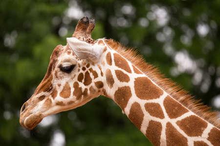 giraffa: Portrait of Giraffe (Giraffa camelopardalis) Stock Photo
