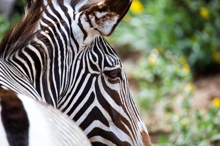 equid: Close-up of Grevys Zebra (Equus grevyi)