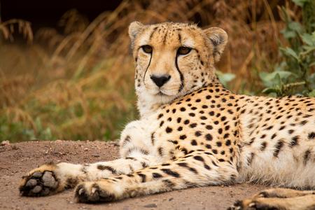 Cheeta (Acinonix jubatus) rustig in een schaduw