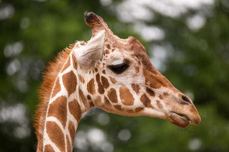 ruminant: Portrait of Giraffe (Giraffa camelopardalis) Stock Photo