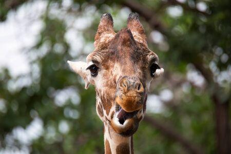 ruminant: Portrait of Giraffe Giraffa camelopardalis
