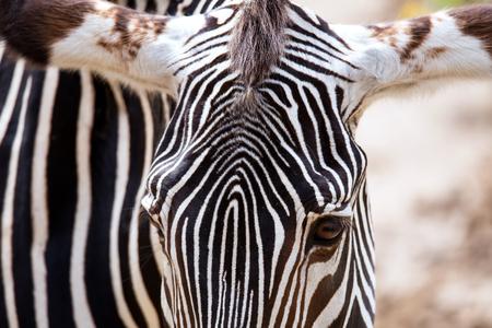 equid: Close-up of Grevys Zebra Equus grevyi Stock Photo