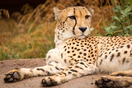 lieing: Cheeta (Acinonix jubatus) resting in a shade Stock Photo