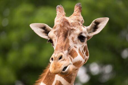 giraffe: Portrait of Giraffe (Giraffa camelopardalis) Stock Photo