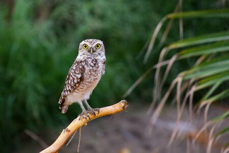 burrowing: Burrowing owl Athene cunicularia sitting on a stick, Huacachina, Peru