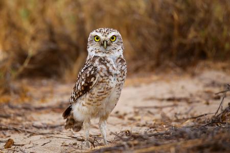 desert ecosystem: Burrowing owl Athene cunicularia standing on the ground, Huacachina, Peru Stock Photo
