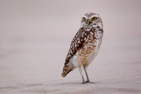 burrowing: Burrowing owl Athene cunicularia standing on sand, Huacachina, Peru