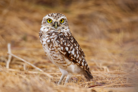 burrowing: Burrowing owl Athene cunicularia standing on the ground, Huacachina, Peru Stock Photo