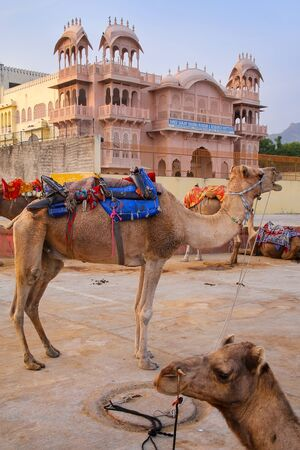 buildings city: Camels resting near Man Sagar Lake in Jaipur, Rajasthan, India. Editorial