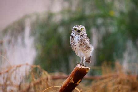 athene: Burrowing owl Athene cunicularia sitting on a stick, Huacachina, Peru