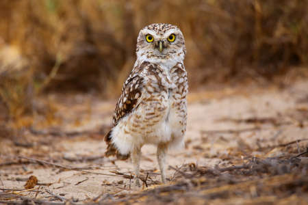 burrowing: Burrowing owl Athene cunicularia standing on the ground, Huacachina, Peru Stock Photo