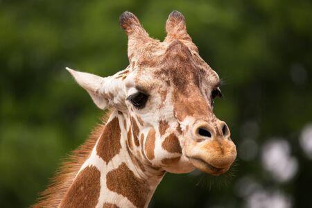 animal head giraffe: Portrait of Giraffe (Giraffa camelopardalis) Stock Photo