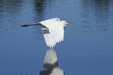 Great egret Ardea alba flying low above water