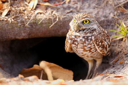burrowing: Burrowing Owl Athene cunicularia standing on the ground Stock Photo