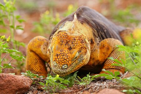 galapagos: Galapagos Land Iguana eating flowers Conolophus subcristatus, on North Seymour island, Galapagos National Park, Ecuador Stock Photo