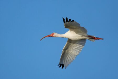 everglades national park: White Ibis (Eudocimus albus) flying in blue sky