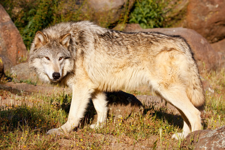 canis lupus: Gray wolf (Canis lupus) standing near rocks