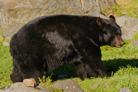 ursus americanus: American black bear (Ursus americanus) walking near rocks