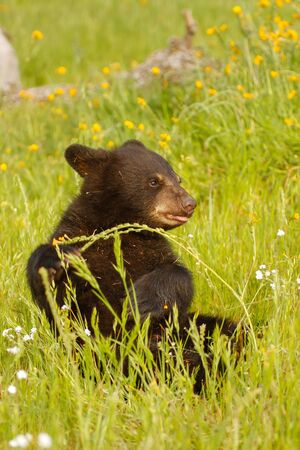 ursus americanus: Baby American black bear (Ursus americanus) playing in flowers Stock Photo