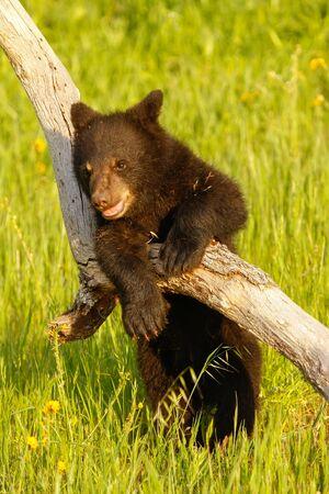 ursus americanus: Baby American black bear (Ursus americanus) playing with a log