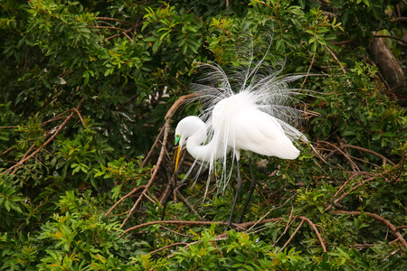 everglades national park: Great Egret (Ardea alba) showing breeding display Stock Photo