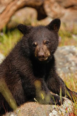 ursus americanus: Portrait of baby American black bear (Ursus americanus) sitting on a tree