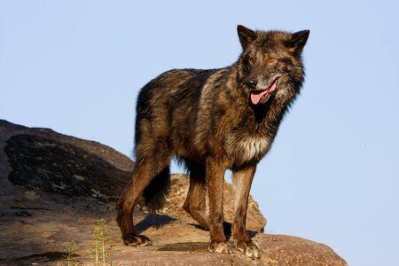 Gray wolf (Canis lupus) standing on rocks Reklamní fotografie