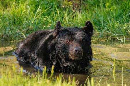 ursus americanus: Portrait of American black bear (Ursus americanus) swimming Stock Photo