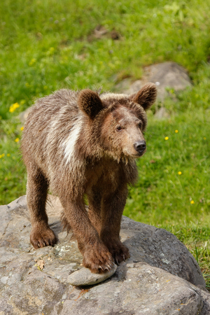 arctos: Young Grizzly bear (Ursus arctos) standing on a rock