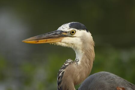everglades national park: Portrait of Great blue heron (Ardea herodias)
