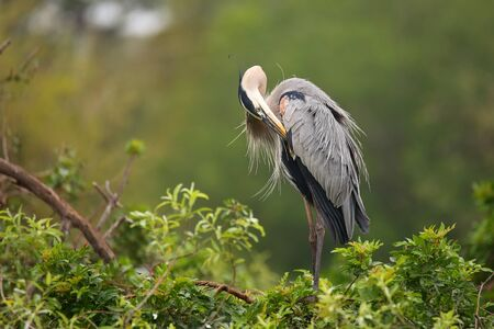 everglades national park: Great Blue Heron (Ardea herodias) preening its feathers. It is the largest North American heron.