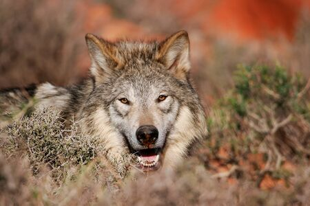 Portrait of Gray wolf Canis lupus in a desert Reklamní fotografie