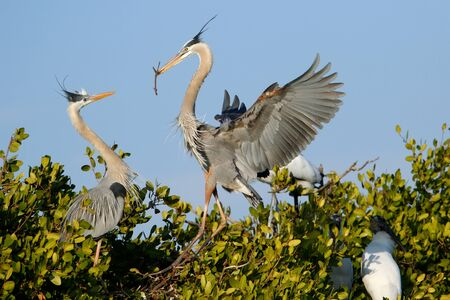 herons: Great blue herons Ardea herodias in the nest Stock Photo