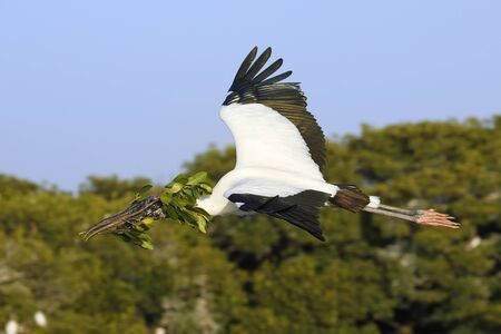 nesting: Wood stork Mycteria americana flying with nesting material