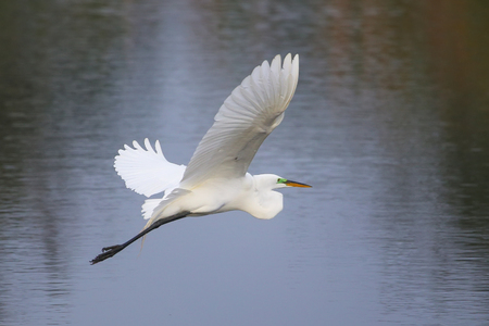 alba: Great Egret Ardea alba flying