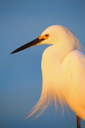 Portrait of Snowy egret Egretta thula against blue sky at sunset