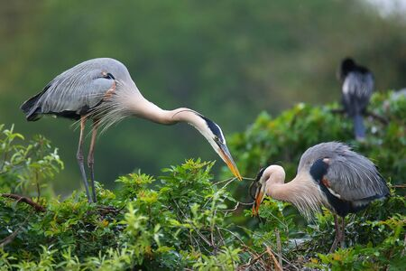 Great Blue Herons  Ardea herodias exchanging nesting material. It is the largest North American heron.