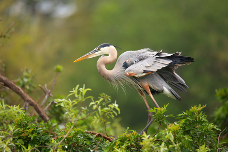 Great Blue Heron Ardea herodias standing on a nest. It is the largest North American heron. Stock Photo
