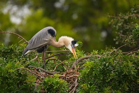 herodias: Great Blue Heron Ardea herodias standing on a nest. It is the largest North American heron. Stock Photo