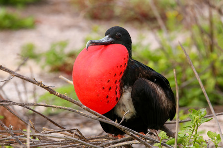 inflated: Male Magnificent Frigatebird Fregata magnificens with inflated gular sac on North Seymour Island, Galapagos National Park, Ecuador