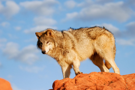 lupus: Gray wolf Canis lupus in a desert with red rock formations