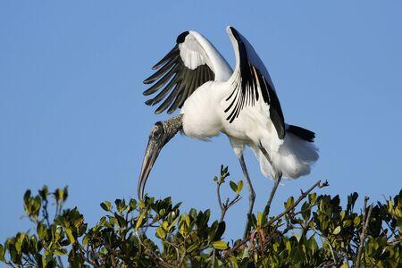 americana: Wood stork Mycteria americana spreading wings Stock Photo