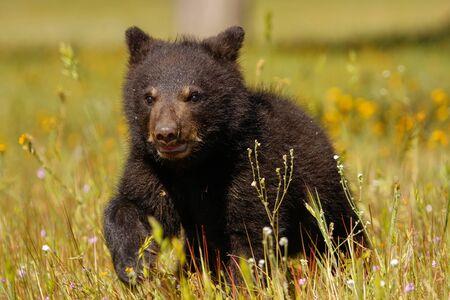 ursus americanus: Baby American black bear Ursus americanus walking amongst flowers
