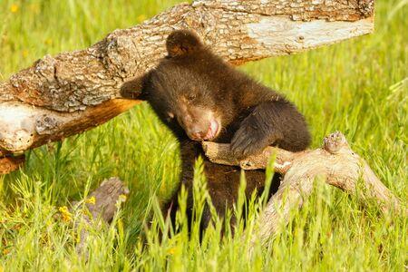 ursus americanus: Baby American black bear Ursus americanus playing with a log Stock Photo