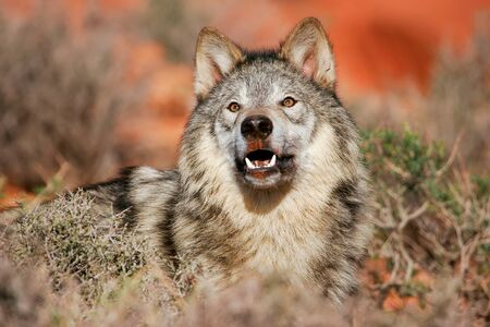 western usa: Portrait of Gray wolf Canis lupus in a desert Stock Photo