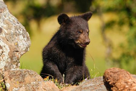 ursus americanus: Baby American black bear Ursus americanus playing Stock Photo
